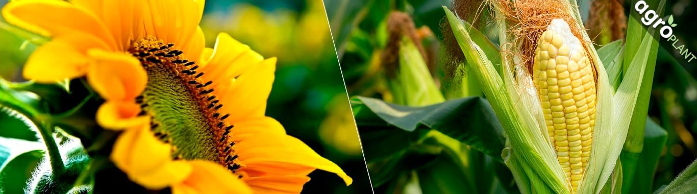 Купить семена подсолнечника и семена кукурузы