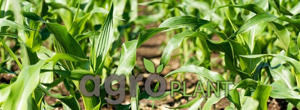 Кукуруза на посев