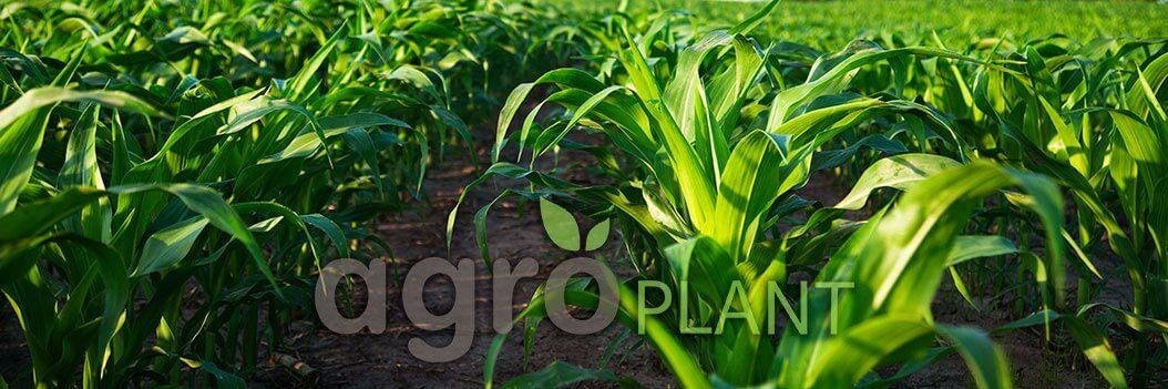 Зеленая кукуруза растет в поле