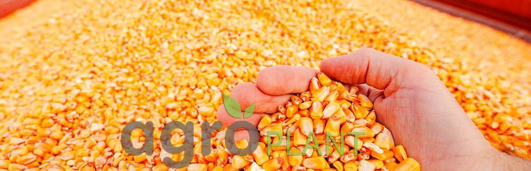 Урожай кукурузы зерно