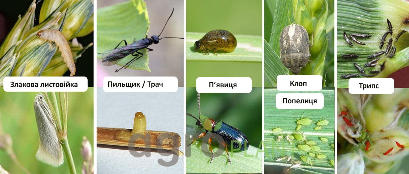 Вредители на пшенице и зерновых - Оперкот Акро - АгроПлант - agroplant.com.ua