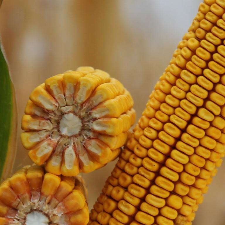 КВС ИНТЕЛЕГЕНС Семена Кукурузы (ФАО 380) - Цена в Украине
