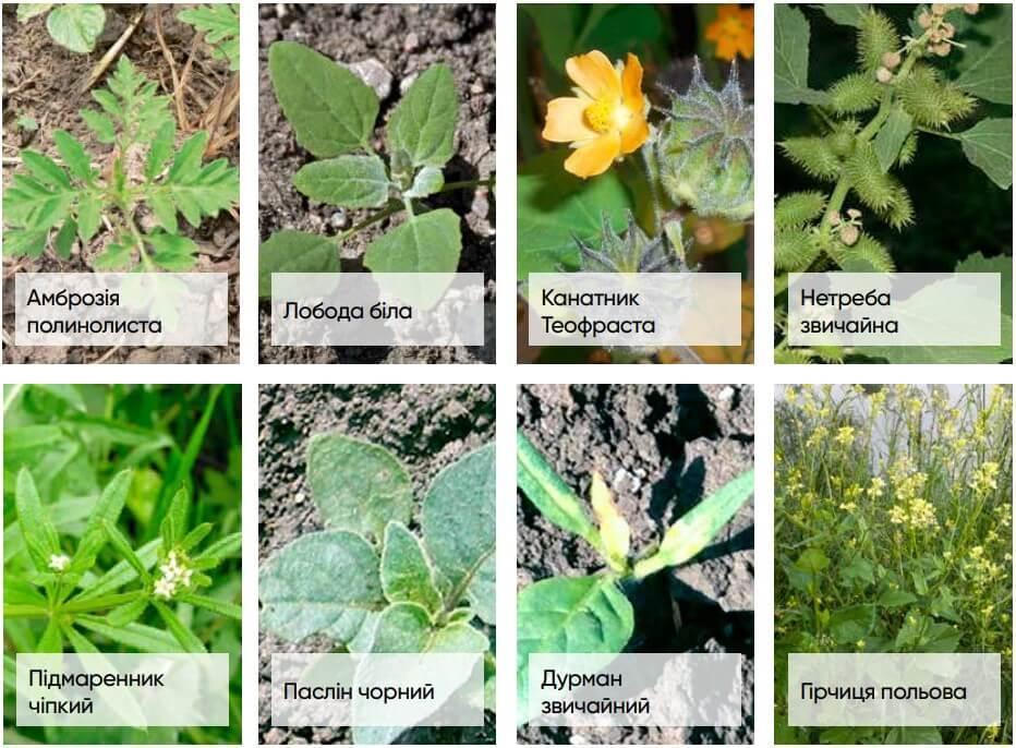 Применение гербицида Гелиантекс - спектр контролируемых сорняков