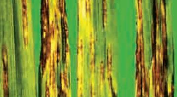 Кінто Дуо – успішна боротьба з сітчастою плямистістю ячменю