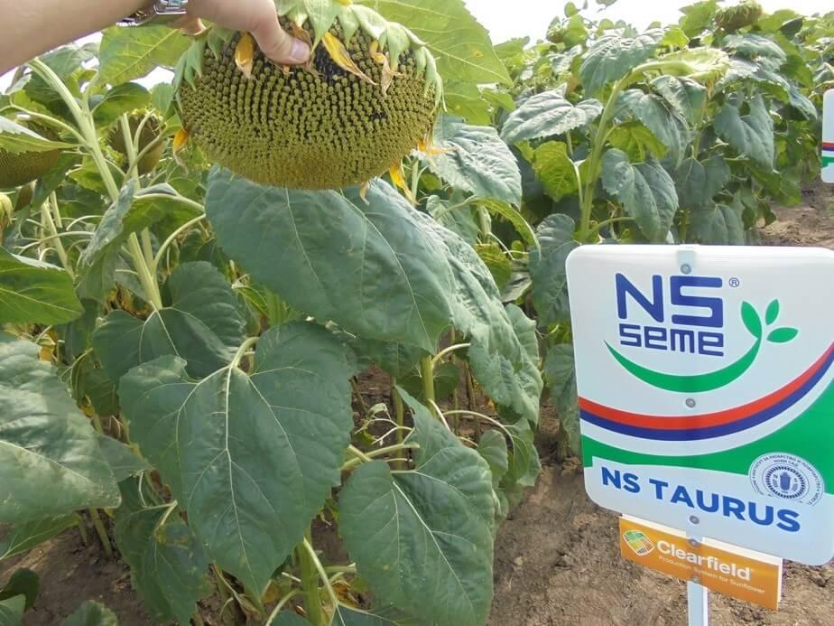 Подсолнечник Таурус семена
