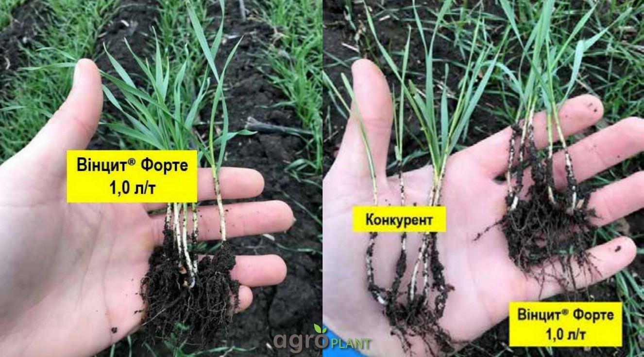 Влияние Винцит Форте на развитие растений озимой пшеницы