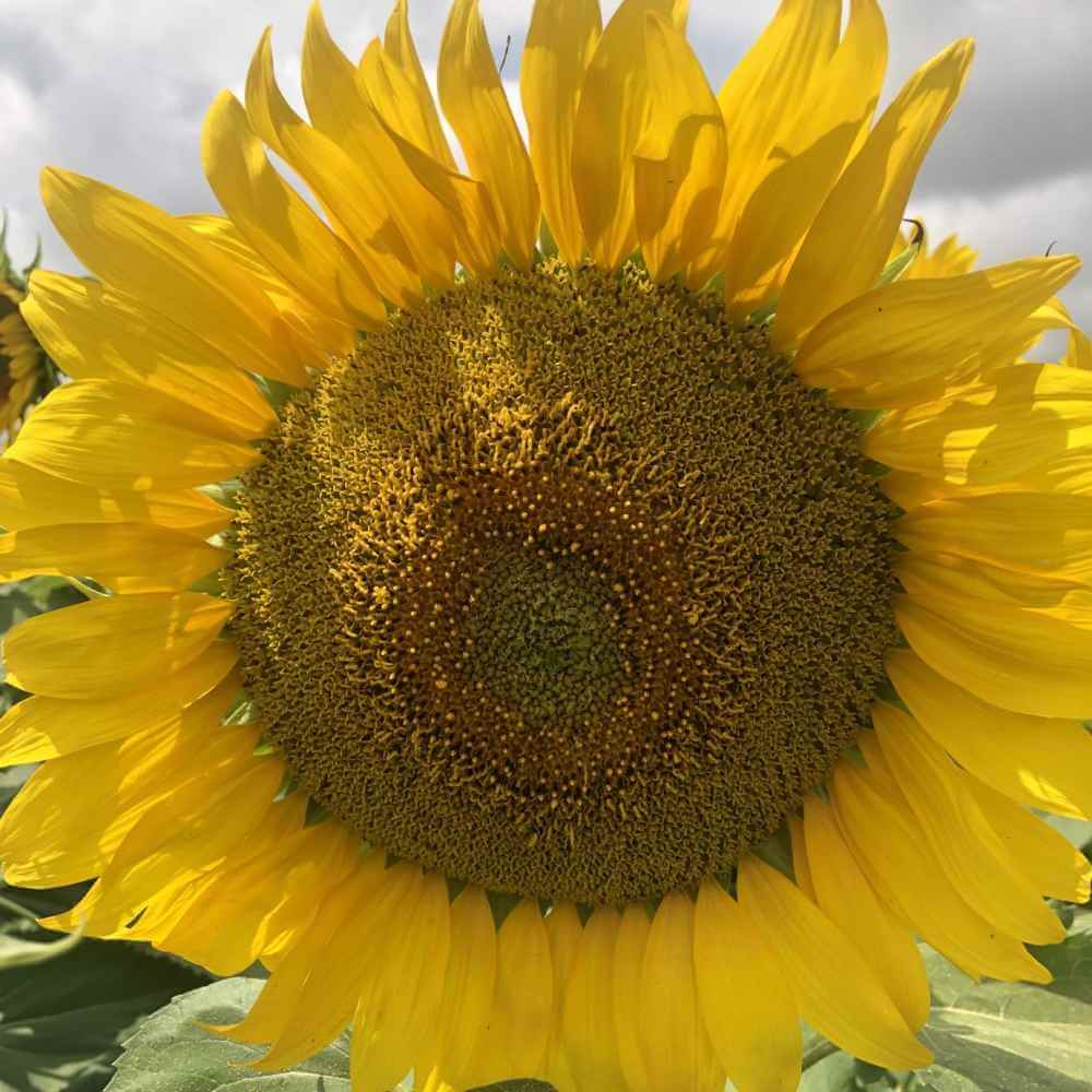 Фото подсолнечника Аякс цветение