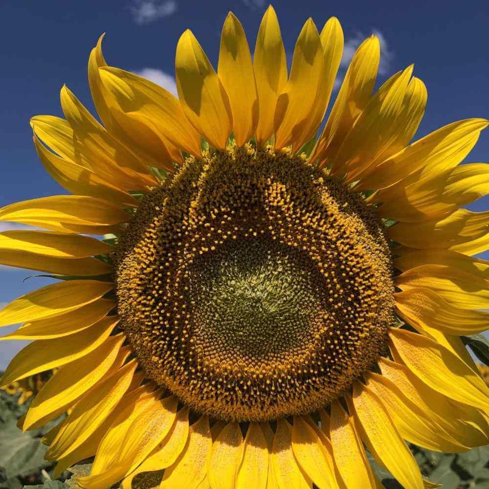 Фото подсолнечника Аякс корзина семян