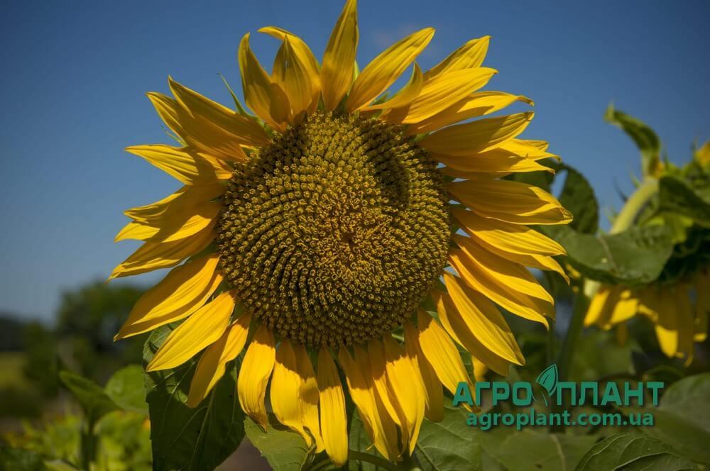Семена Подсолнечника Анастасия - Сады Украины