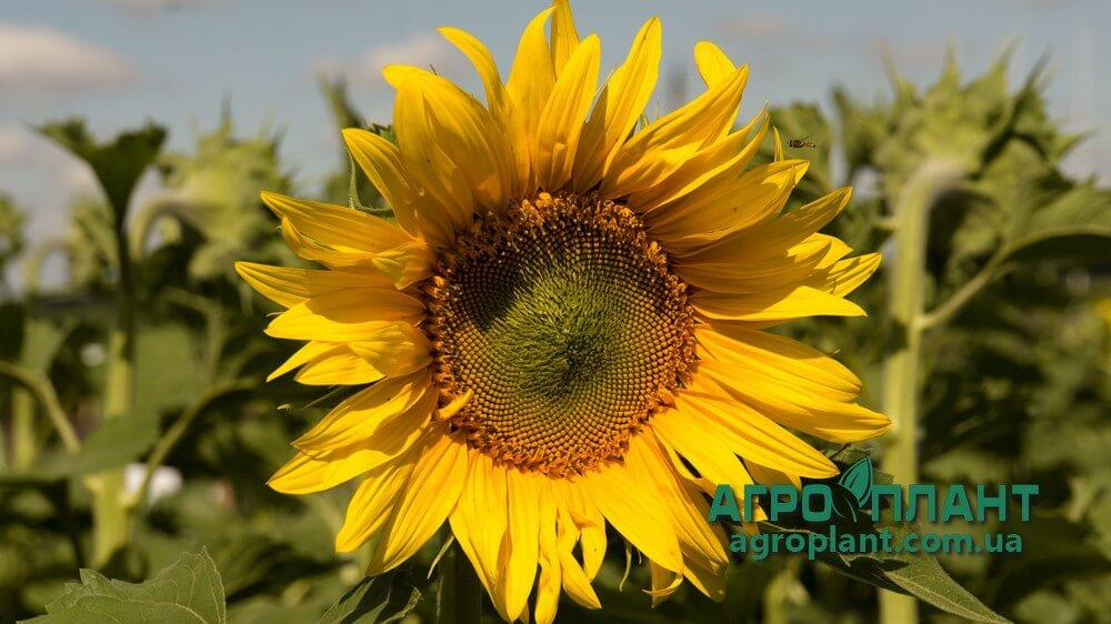 Семена Подсолнечника Драган - Сады Украины