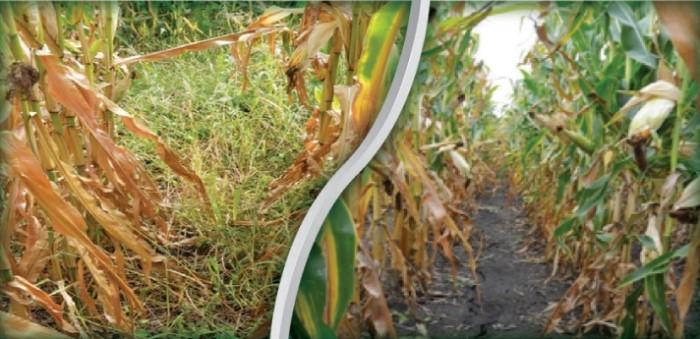 Необработанный участок слева; участок, обработанная ГвардианТетра норме 3,5 л / га (справа) при применении на ранней стадии после всходов Хоростков, август 2016