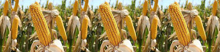 Кукуруза посевная Даниил