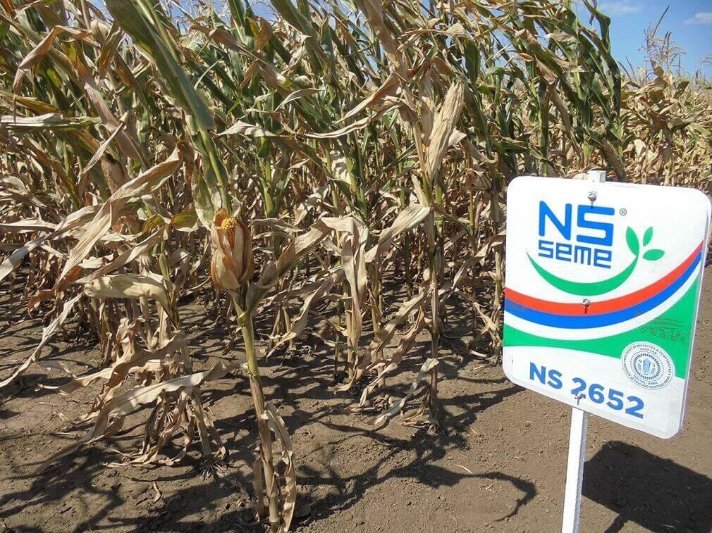 Семена кукурузы НС 2652 (ФАО 280) Сербия