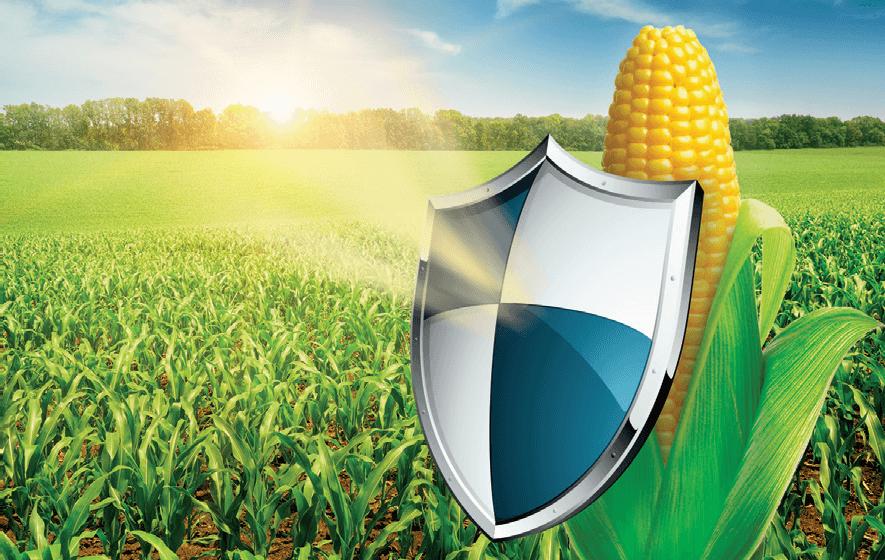 Насіння кукурузм СИ Зефір
