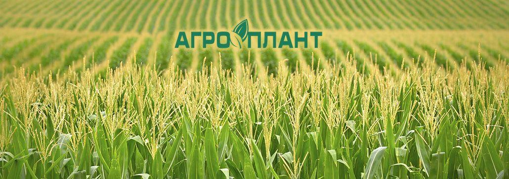 Купить семена кукурузы в Украине
