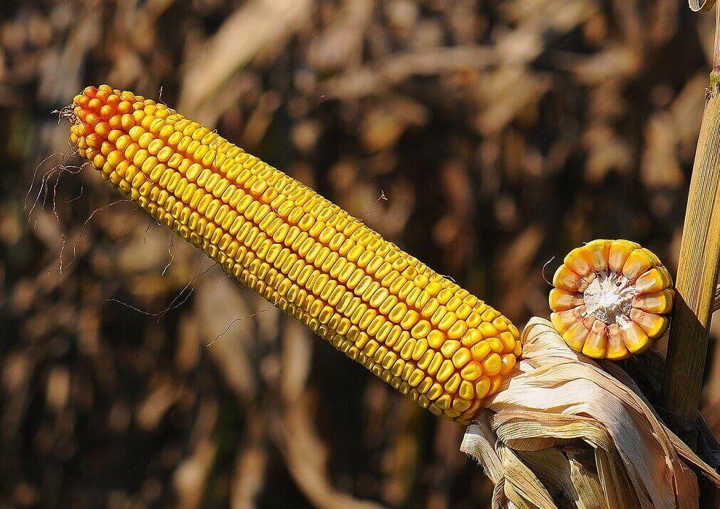 Семена кукурузы НС 2652 фото спелого качана