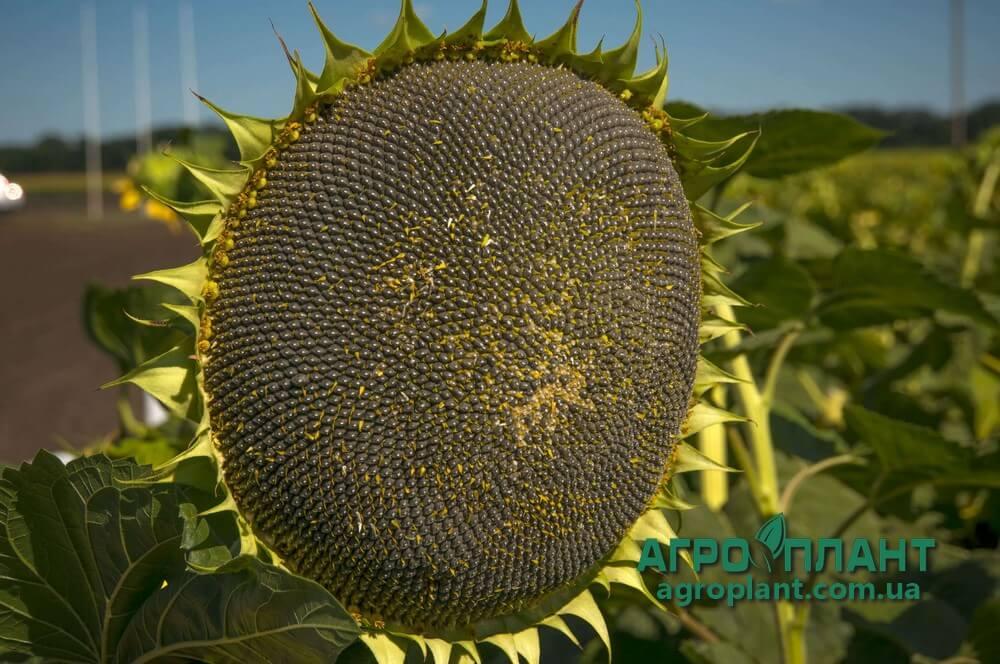 Семена Подсолнечника НС Х 2649 - Сады Украины