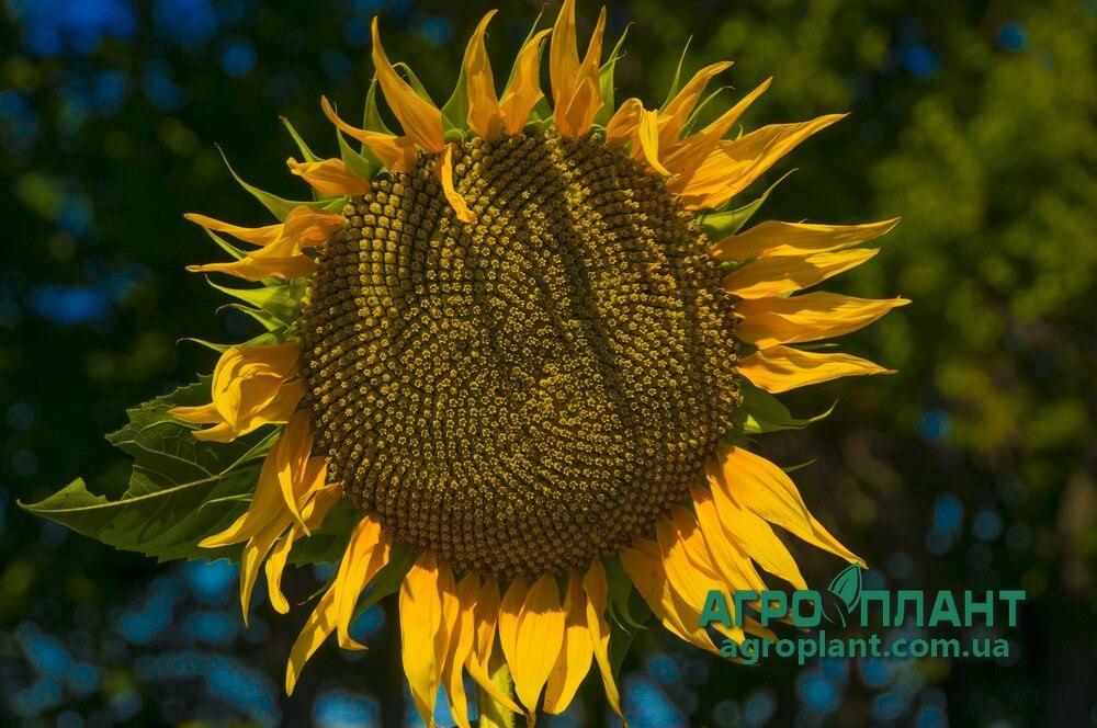 Купить Семена Подсолнечника НС Х 26749 (Латитуда) - Сады Украины