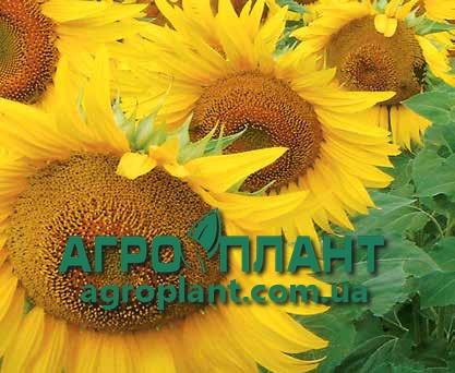 Соняшник ЛГ 5580 Лімагрейн