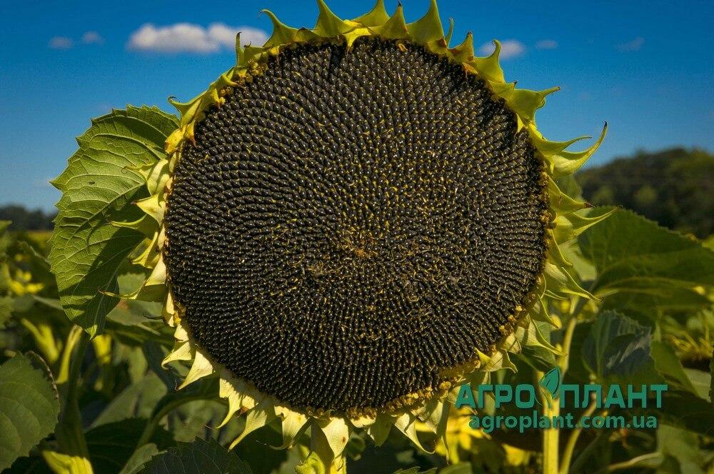 Семена Подсолнечника Рими 2 - Сады Украины